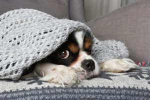cute-dog-under-blanket
